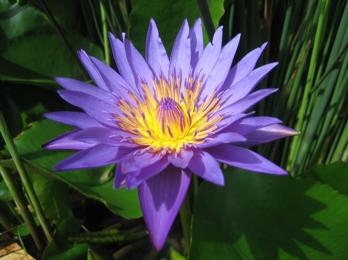 Blue Water Lily the sacred flower  nimadesriandani