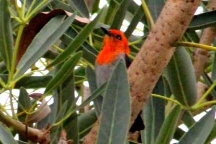 Scarlet Headed Flowerpecker 5