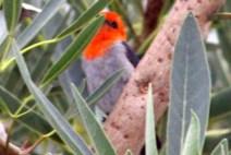 Scarlet Headed Flowerpecker 6