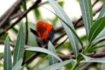 Scarlet Headed Flowerpecker 7