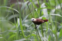 Bondol Haji, White Headed Munia 2