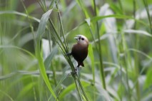 Bondol Haji, White Headed Munia 3