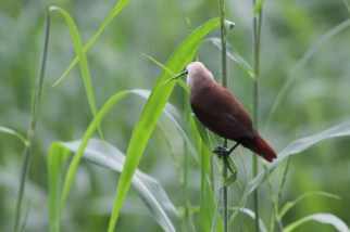 Bondol Haji, White Headed Munia11