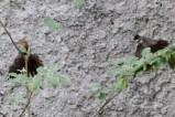 Burung Kipasan - Kedasih c