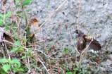Burung Kipasan - Kedasih g