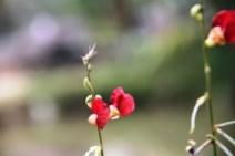 Bunga Kacang Ucu Merah 5