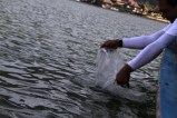 Menebar benih ikan di danau batur