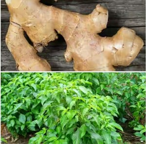 How to use ginger to treat yeast infection