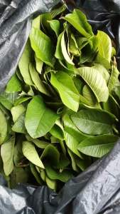 Can guava leaves cause abortion?