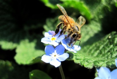 Vergissmeinicht-Biene