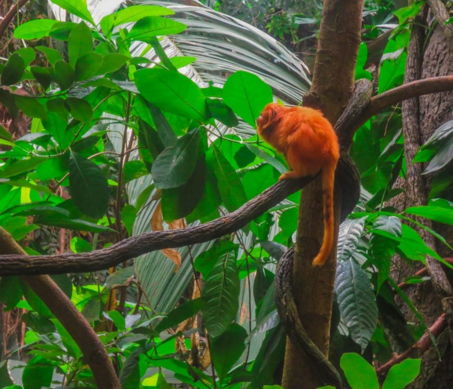 Orange Tamarin Lion Monkey in the Tropical Forest, a species protect by conservation projects