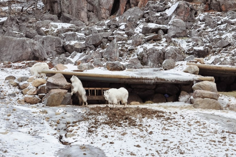 mountain goats at Omega Park