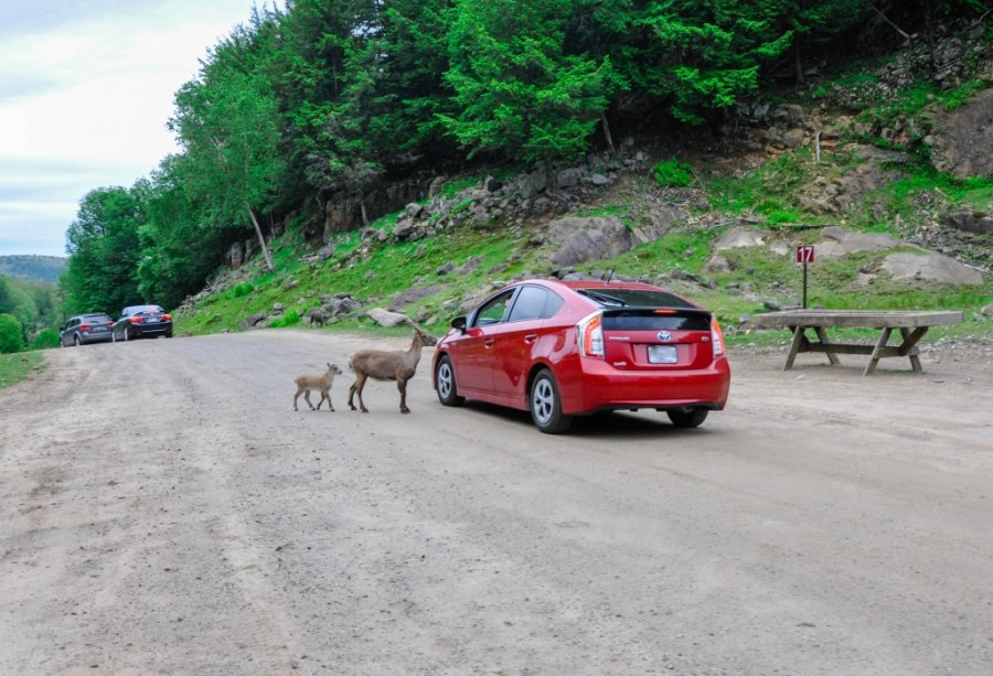 Ibex at parc omega