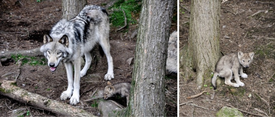 Timber wolf and wolf cub