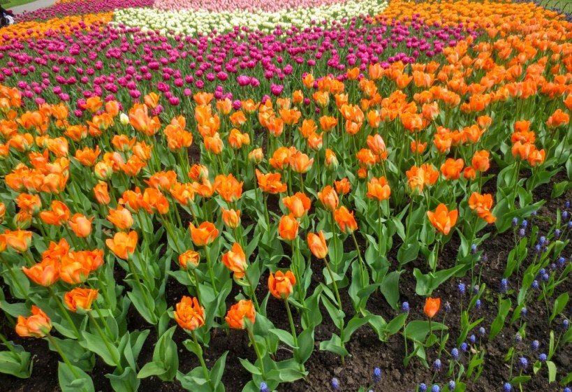 Tulip Festival Guide