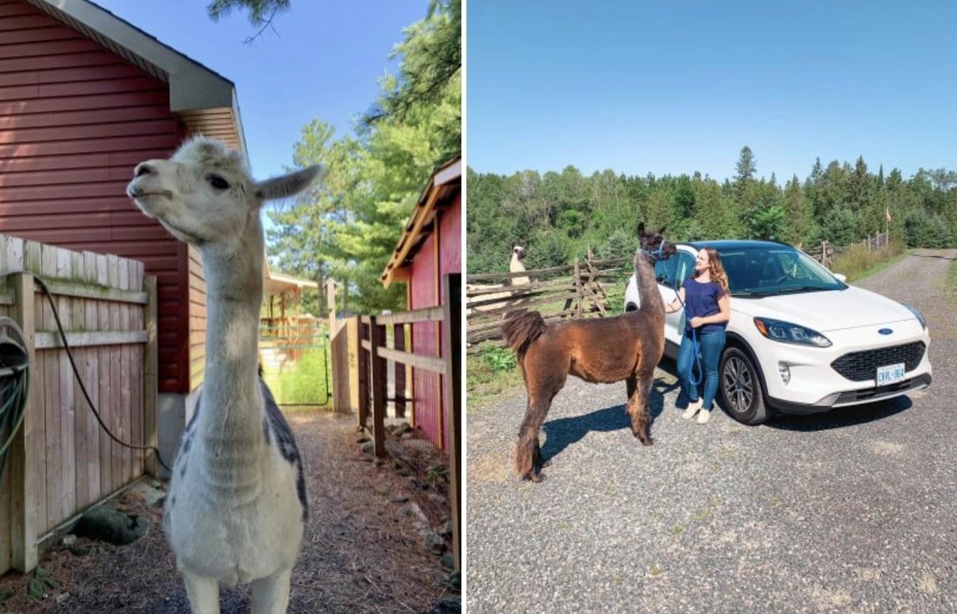 3 Places to Walk with Llamas near Ottawa