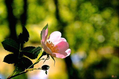 Rose sauvagement belle...