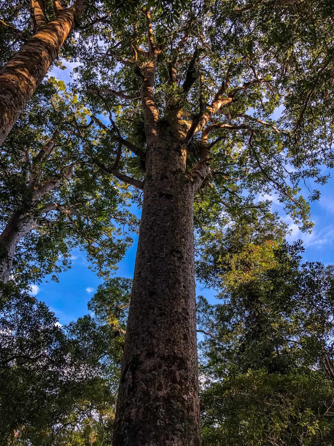 New Zealand Kauri Trees: A Tale of Dinosaurs and Giants