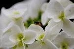 母の日~流行のプレゼントは紫陽花です!~いつ届ける?