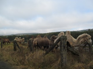 Camels on one of the farms along the way?!