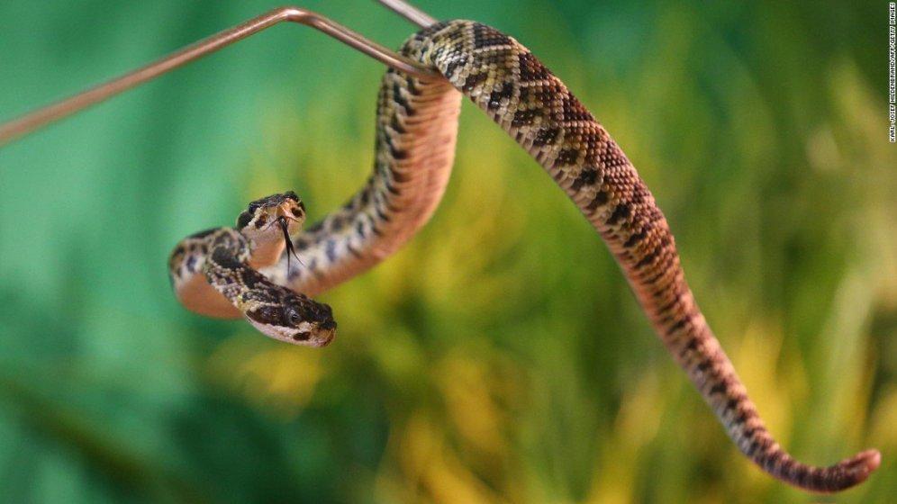In Germania (al sicuro in uno zoo) c'è un ospite particolare: un serpente a sonagli a due teste.