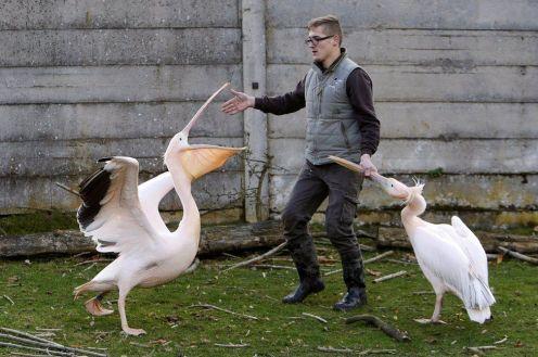 Nel Dvur Kralove Zoo, in Repubblica Ceca, i pellicani non hanno molta voglia di trasferirsi nelle postazioni invernali...