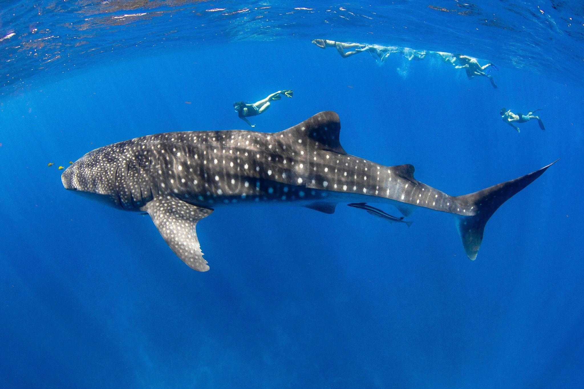 Whale Shark Exmouth