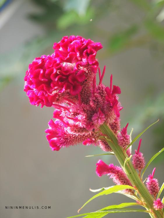 bunga jengger ayam