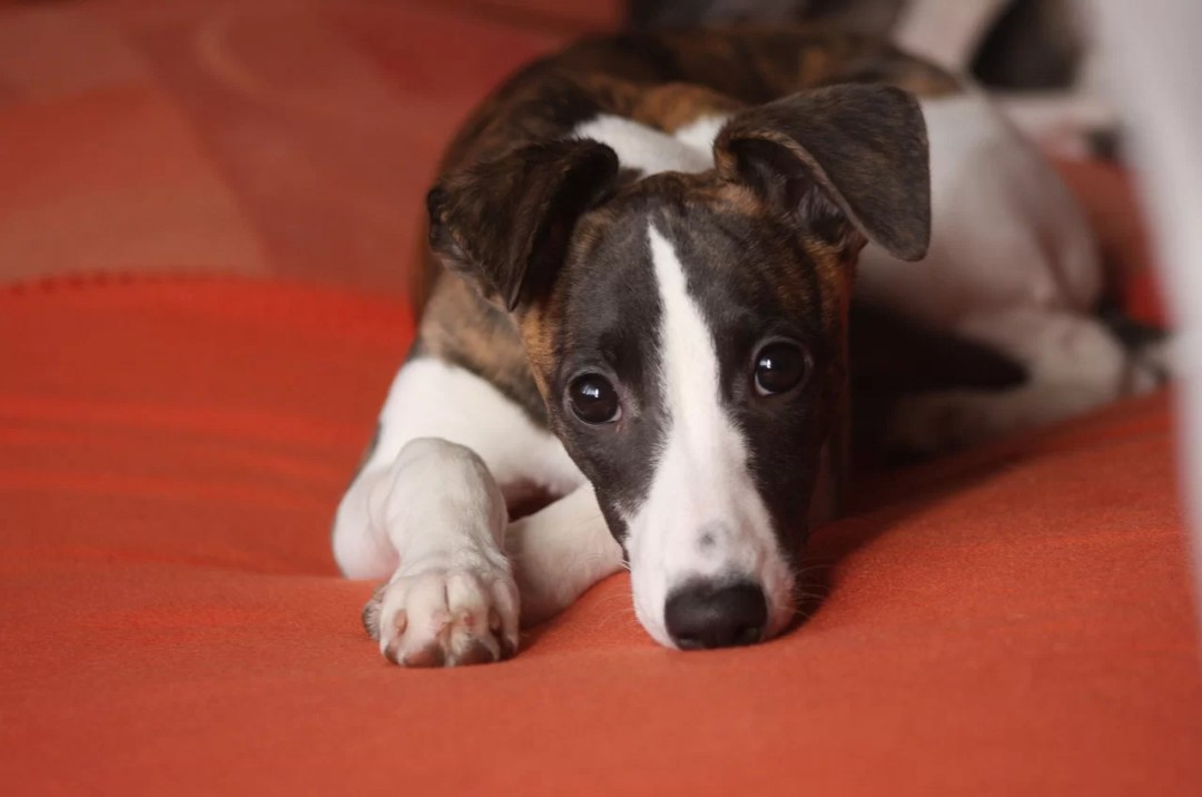 Stock images - whippet puppy