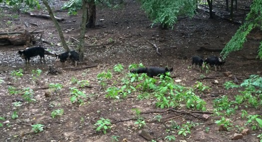 Pigs in forrest paddock