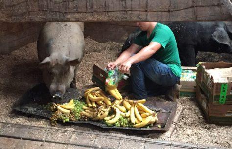 Man feeding adult pig produce