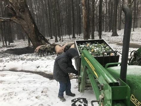 Spork feeding hogs in the snow