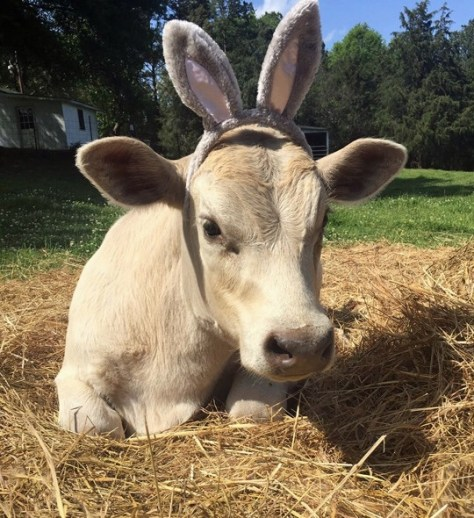 Cow with easter bunny ears
