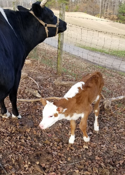 Betsy's new calf
