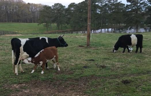 Calf nursing Betsy