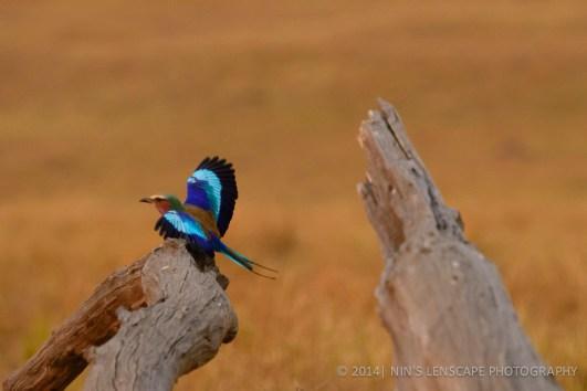 Kenya: King Fisher bird just landed on that stump