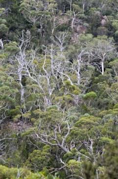 Eucalyptus hillside