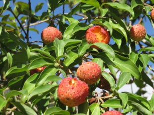 Fruits sauvages inconnus.