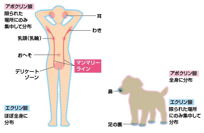 人と犬のアポクリン腺の分布図