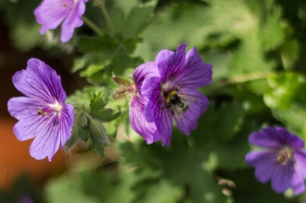 #GreatBritishBeeCount - bumble bee on flowers at the allotment
