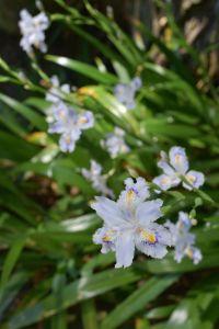 Yamadera-iris japonica
