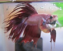 Symptoms of Dropsy in Betta Fish - Fish Care