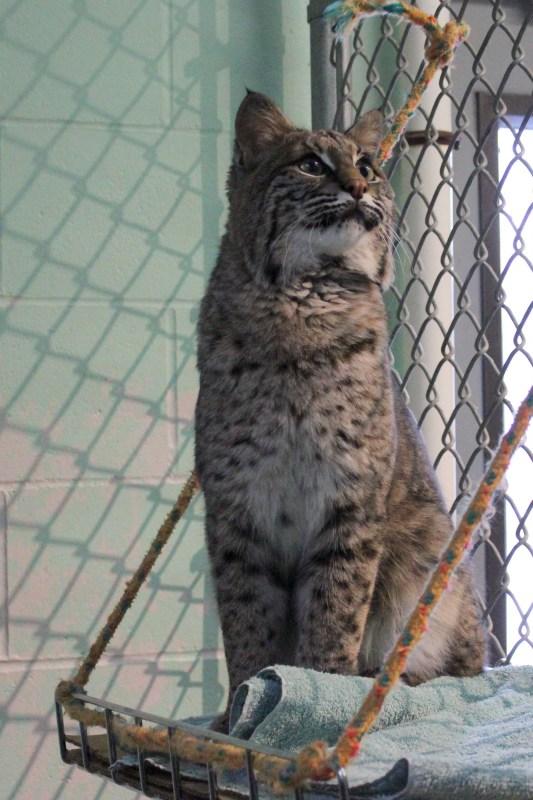 Bobcat visit