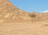 Sinai-Akazie