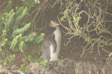 Southern Scenic Route, Yellow Eyed Penguin (Hoiho), Curio Bay, South Island