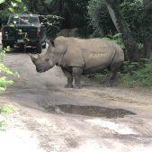 Black Rhino, Animal Kingdom