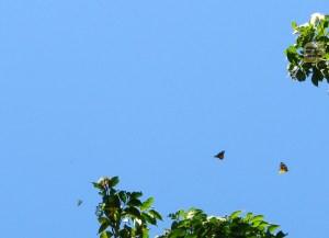 জাম ফুলে প্রজাপতির অভয়ারণ্য (ছবি: লেখক)