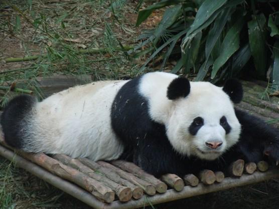 Piglet simply loved meeting Kaikai the giant panda