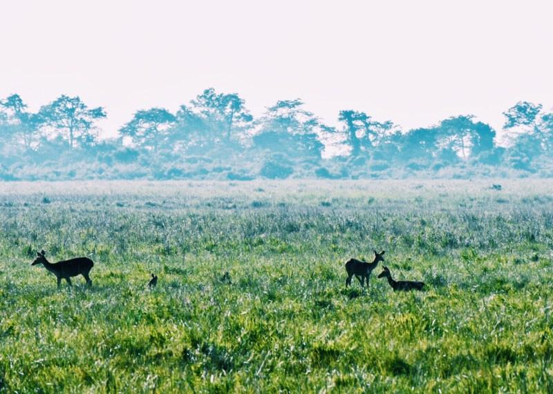 Deer grazing in the tall grass