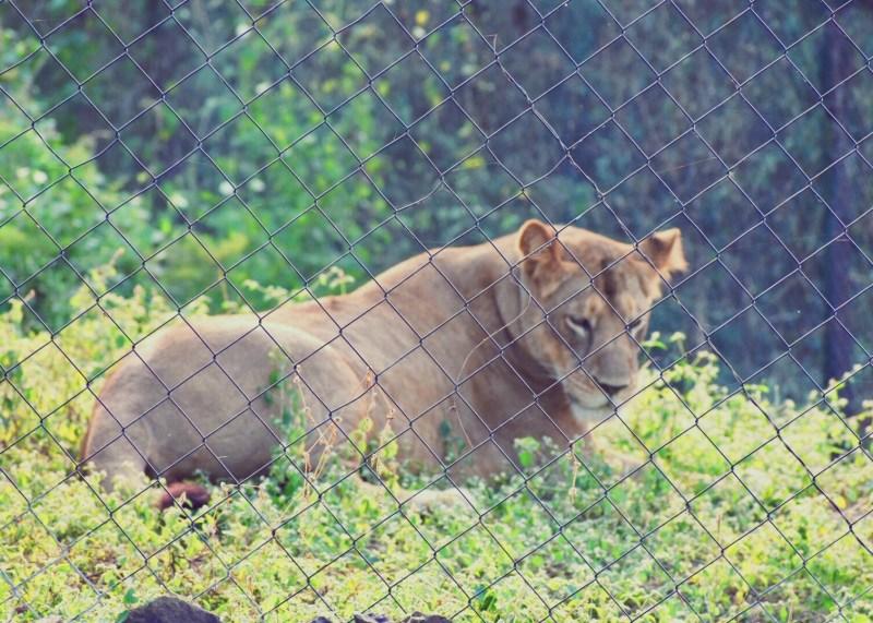 Gorgeous lioness